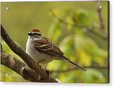 Chipping Sparrow In Sugar Maple Acrylic Print