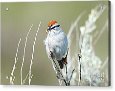 Acrylic Print featuring the photograph Chipping Sparrow by Mike Dawson