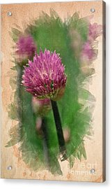 Chive Blossoms In June Acrylic Print