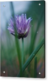 Chive Flower 2 Acrylic Print by Lisa Gabrius
