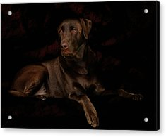 Chocolate Lab Dog Acrylic Print by Christine Till