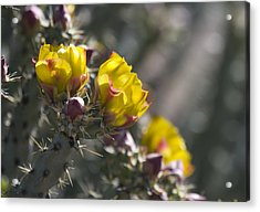 Cholla Blooms Acrylic Print by Sue Cullumber
