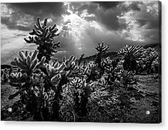 Acrylic Print featuring the photograph Cholla Cactus Garden Bathed In Sunlight In Black And White by Randall Nyhof