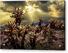 Acrylic Print featuring the photograph Cholla Cactus Garden Bathed In Sunlight In Joshua Tree National Park by Randall Nyhof