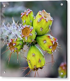 Acrylic Print featuring the photograph Cholla Fruit S48 by Mark Myhaver