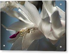 Christmas Cactus Blossom Acrylic Print