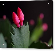 Christmas Cactus Double Joy Acrylic Print