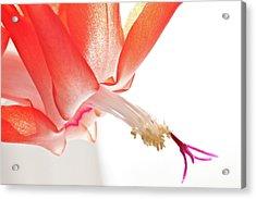 Christmas Cactus Flower Acrylic Print by Christine Amstutz