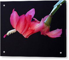 Christmas Cactus On Black Acrylic Print by Farol Tomson