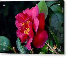 Acrylic Print featuring the photograph Christmas Camellia by Marie Hicks