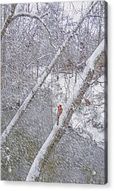 Christmas Card - Cardinal In Tree Acrylic Print