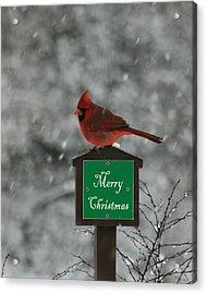Christmas Cardinal Male Acrylic Print