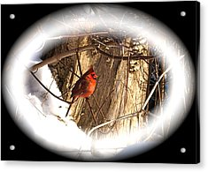 Christmas Cardinal Acrylic Print by Peter Gray