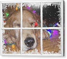 Christmas Golden Retriever Acrylic Print by Maria Dryfhout