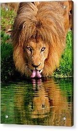 Christmas Lion Acrylic Print