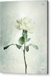 Christmas Rose Acrylic Print