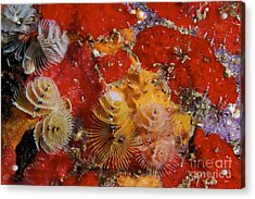 Christmas Tree Worms, Bonaire Acrylic Print by Terry Moore