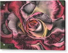 Chrome Rose 368 Acrylic Print