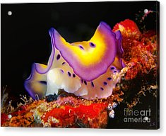 Chromodoris Kunei Nudibranch  Acrylic Print