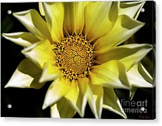 Acrylic Print featuring the photograph Chrysanthos by Linda Lees