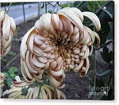Chrysanthemum 14 Acrylic Print