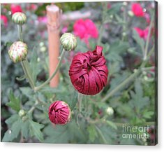 Chrysanthemum 21 Acrylic Print