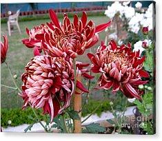 Chrysanthemum 4 Acrylic Print