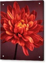 Chrysanthemum 7 Acrylic Print by Joseph Gerges
