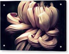 Chrysanthemum Curls Acrylic Print by Jessica Jenney
