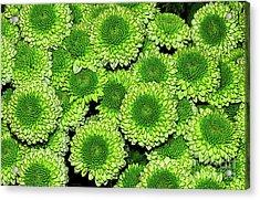 Chrysanthemum Green Button Pompon Kermit Acrylic Print by Kaye Menner