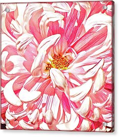 Chrysanthemum In Pink Acrylic Print by Shadia Derbyshire