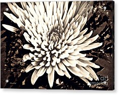 Acrylic Print featuring the photograph Chrysanthemum In Sepia 2  by Sarah Loft