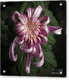 Chrysanthemum 'jefferson Park' Acrylic Print