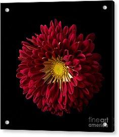 Chrysanthemum 'red Wing' Acrylic Print