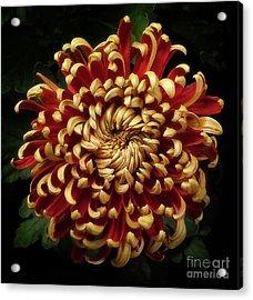 Chrysanthemum 'st Tropez' Acrylic Print