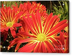 Acrylic Print featuring the photograph Chrysanthemums by Christine Amstutz