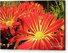 Chrysanthemums Acrylic Print by Christine Amstutz