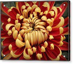 Chrysanthemum In Full Bloom Acrylic Print