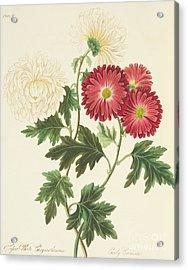 Chrysanthemums Acrylic Print by Margaret Roscoe