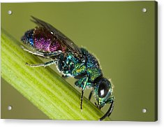 Chrysidid Wasp Acrylic Print by Andre Goncalves