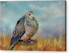 Chubby Dove Acrylic Print