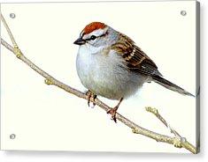 Chubby Sparrow Acrylic Print
