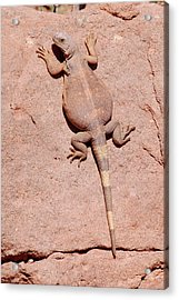 Acrylic Print featuring the photograph Chuckwalla, Saurolamus Ater by Breck Bartholomew