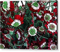 Cineraria - Flowers Acrylic Print