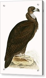 Cinereous Vulture Acrylic Print by English School