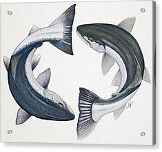 Circling Atlantic Salmon And Steelhead Acrylic Print by Nick Laferriere