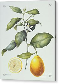 Citrus Lemon Acrylic Print by Margaret Ann Eden