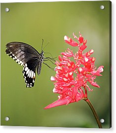 Acrylic Print featuring the photograph Citrus Swallowtail by Grant Glendinning