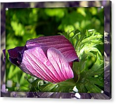 Clam Flower Acrylic Print