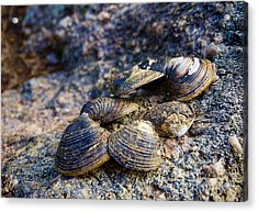 Clam Shells Acrylic Print by Melissa Messick